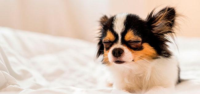 La fiebre en perros puede aparecer de un momento a otro, especialmente como uno de los síntomas de algún malestar mayor